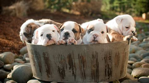 puppies dog Wallpapers HD / Desktop and Mobile Backgrounds