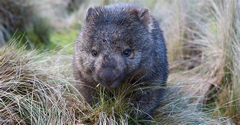 Working on the wombat - Australian Geographic