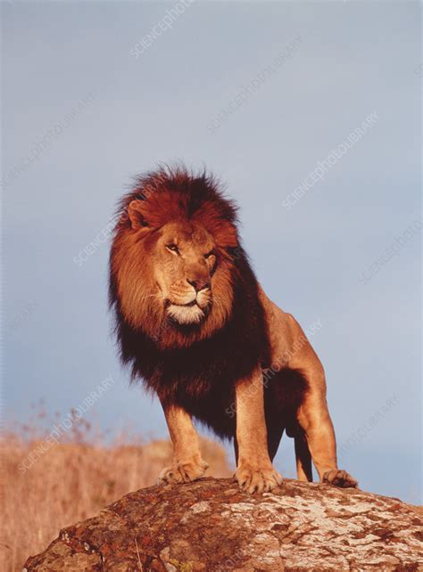 Male lion (Panthera leo) standing on a rock - Stock Image
