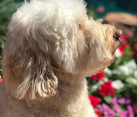 Types - Colors - Characteristics of Australian Labradoodles