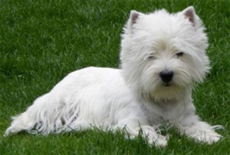 """West Highland White Terrier-Zwinger """"of Rainbow Palace"""