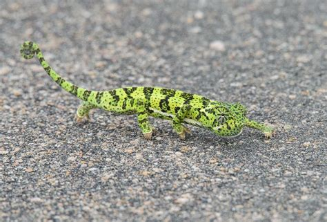 Flap-necked Chameleon, South Africa (With images