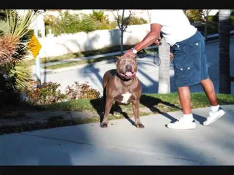 largest Bully XXL blue female pitbull, BGK's Big Sexy