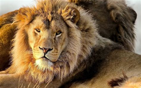 The Lion (panthera Leo) Is One Of The Big Cats In The
